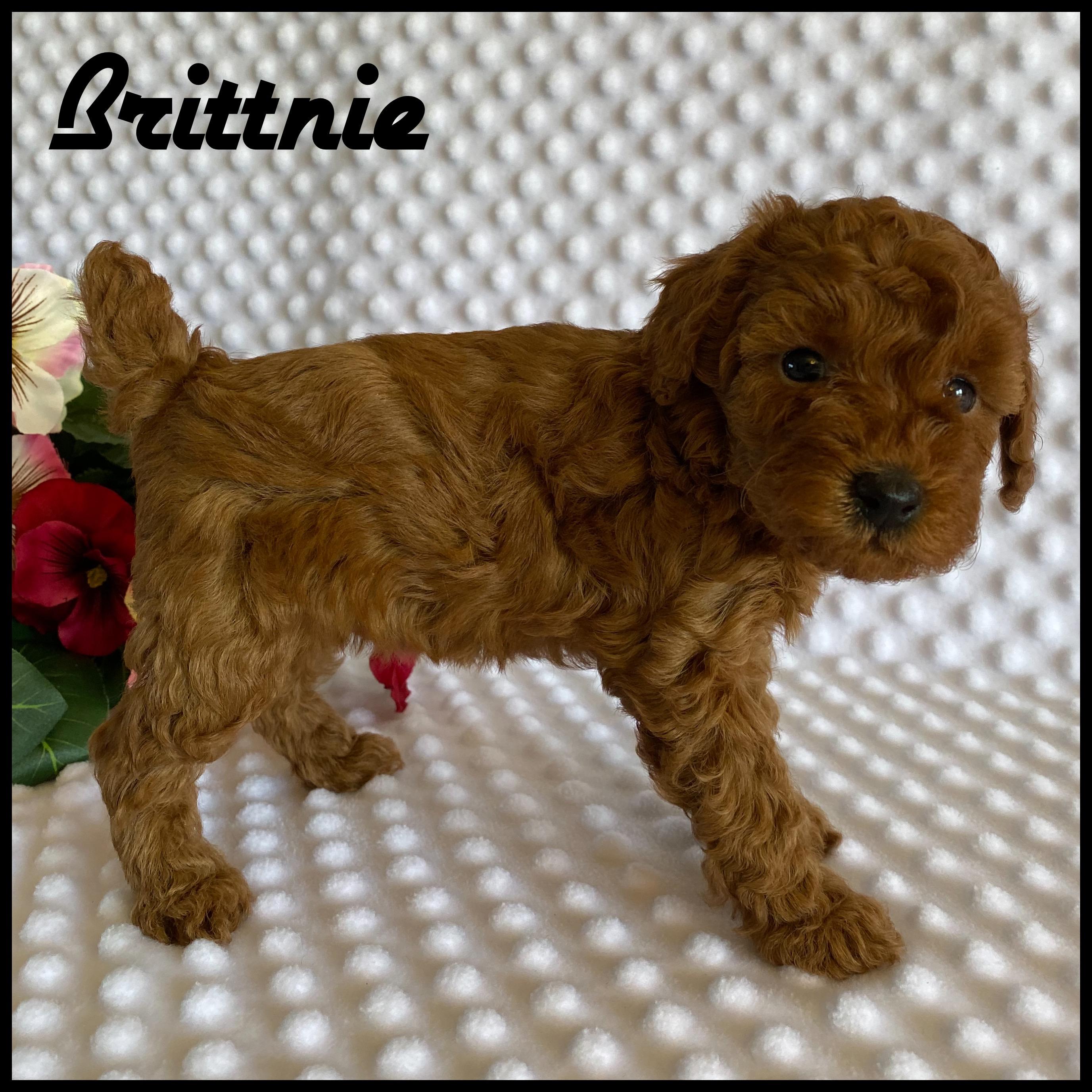 Brittnie Female Akc Registered Mini Poodle